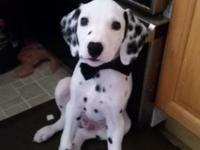 I have 5 13 week old dalmatian puppies looking for