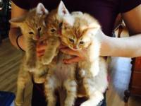 5 darling 6 week old kittens! This ad was posted with
