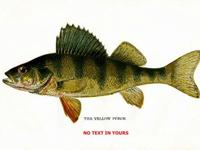 This is a fine Contemporary print of a Yellow Perch. It
