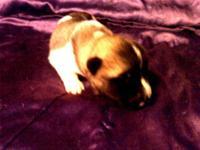 5 female and 4 male purebred Akita puppies. The
