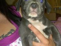 I have 5 female blue pit puppies for sale for $350 each