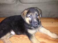 Beautiful Black and Tan German Shepherd Pups, now