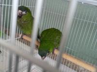 I have 5 Hahns macaw babies for sale. 2 were hatched on