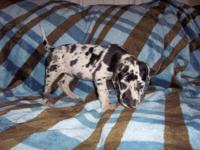 I have 5 CKC reg. healthy beautiful Great Dane pups for
