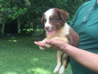 #5 Jake is an AKC Registered Red Tri Male with Hazel
