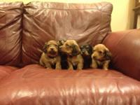 We have 5 mini longhair dachshund puppies for sell. 4
