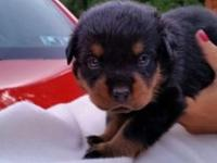 5 Male Rottweilers available ready for their forever