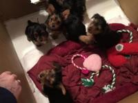 Purebred yorkie pups, no papers. Shots, deworming, and