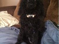 We have a 5 month old Male all black poodle for sale.