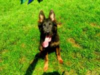 5 month old blue and red long coat GSD for sale, up to