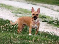 Brandie is a Chihuahua that needs a good home. She is