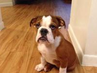 5 month old English Bulldog puppy. Comes with 42'