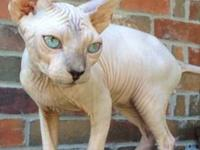 Available - two sphynx kittens from registered CFA/TICA