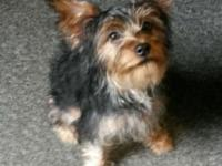 I have a 5 month old female yorkie. She is great with