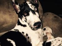 5 month old female ckc Great Dane. She is up to date on