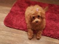 Red maltipoo. She's a sweet heart, I just don't have