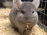 We have tan male chinchilla whos looking for his new
