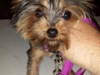 5 month old registered female Yorkie a bit 2.5 lbs her