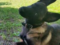 5 mth old Female FCI registered Belgian Malinois. She