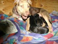 4 boys 1 girl pitbull pups. DOB 5/13/15. Sinatra x IV.