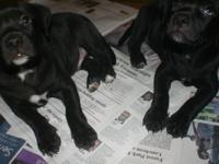 4 boys 1 girl pitbull pups. All blacks. DOB 5/13/15.