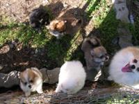 I have 5 Pomeranian puppies ready to go to their new
