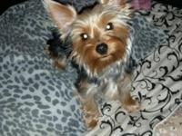 Hello my name is rocky and I am a toy yorkie only 5