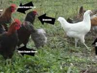 I have 5 roosters for sale for $5 a piece. These are