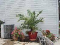 "5' tall Needle Palm in a 18"" tall 22"" wide Ceramic and"