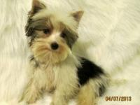 5 Teacup Male Yorkies for sale ..UTD on their shots