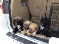 I have 5 very cute & adorable male Shih Poo puppys. I