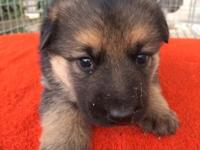 I have 2 male AKC registered German Shepherd puppies