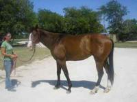 I HAVE A 5 YEAR OLD BAY GELDING, 16.1 HANDS. HE CAN BE