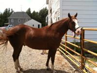 5 year old paint/quarter gelding. He is not registered.