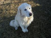 Dewey is an unaltered male great pyrenees. He is a good