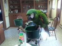 For sale or trade my 5 year old severe macaw for a tame