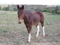 Paint John Mule FOR SALE 5 year old, 14.2 hand in need