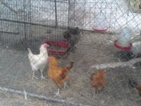 5 Roosters hatched Feb.3rd 2012. HUGE to be only 3 1/2