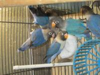 i am selling 7 love bird babies all different blue