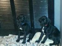 50 % Euro Great Dane puppies born May 18th, sire is