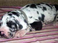 I have 9 incredible Great Dane babies searching for