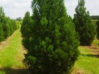 50% OFF Trees - Holly's / Green Giants / Leyland