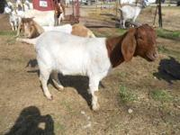 Have a mother daughter pair of Boer does. the 50% reg