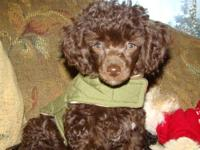 COCOA, BEAUTIFUL TINY TEACUP POODLES male 12 weeks old.