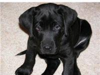 A very cute, Pointing Lab puppy! This Michigan bred