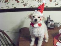 LOST SMALL MALE WHITE POODLE JEROME AREA