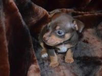 5280 Toy Rat Terriers Available for adoption Male Born: