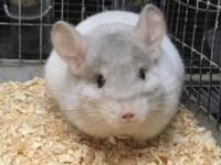 We have a pink white female chinchilla whos looking for