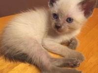 Taking deposits now on my 5 week old litter of Siamese