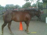 5 year old QH Stallion. This horse is massive and has